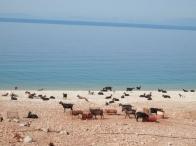 spiaggia capre